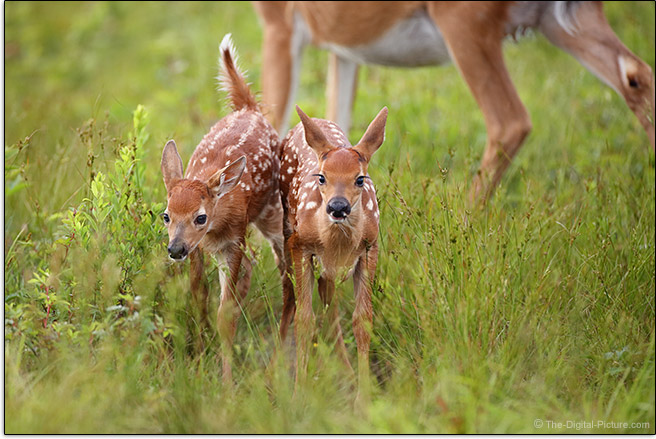 Canon EF 600mm f/4L IS III USM Lens Fawns Sample Picture