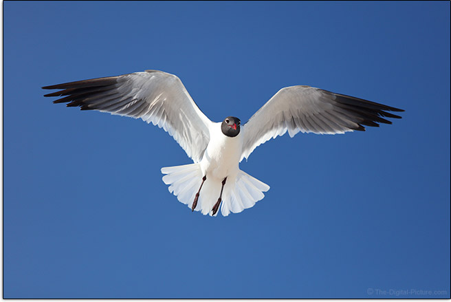 Canon EF 70-200mm f/4L IS II USM Lens Gull in Flight Sample Picture