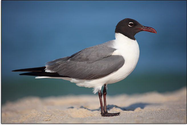 Canon EF 70-200mm f/4L IS II USM Lens Laughing Gull Sample Picture