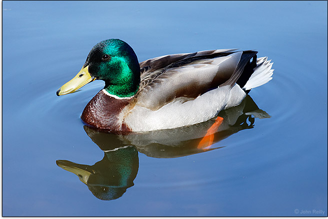 Canon EF-M 55-200mm f/4.5-6.3 IS STM Lens Sample Image Mallard
