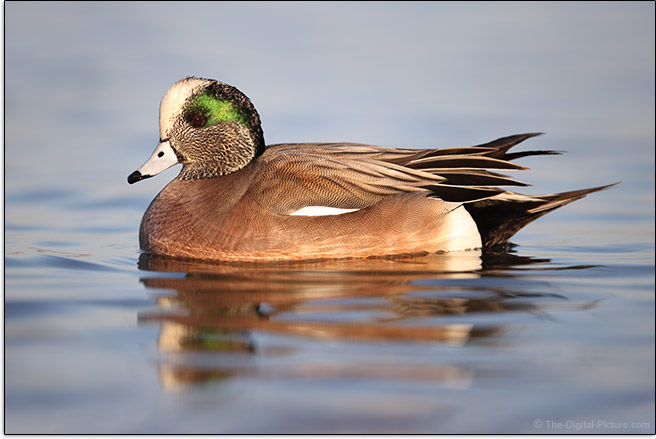 Canon EOS-1D X Mark III American Widgeon Sample Picture