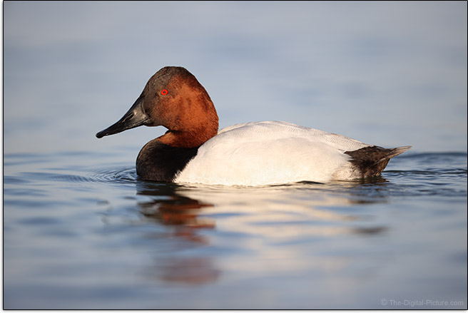 Canon EOS-1D X Mark III DSLR Camera Canvasback Duck Sample Picture