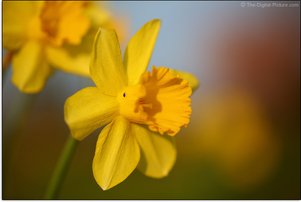 Insect on Daffodil Sample Picture