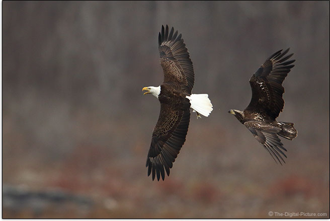 Canon EOS 7D Mark II 10 fps Burst Example - Bald Eagle in Flight