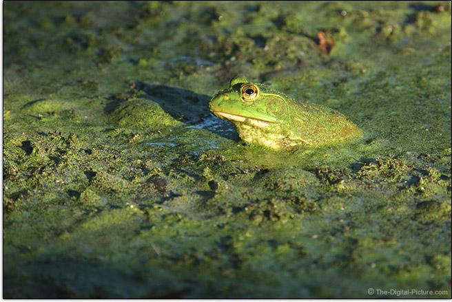 Canon EOS R5 Eye AF Frog