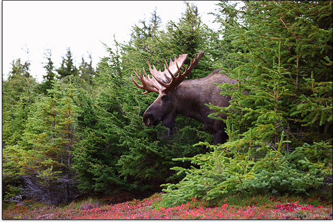 Canon RF 100-500mm F4.5-7.1 L IS USM Lens Moose Emergence Sample Picture