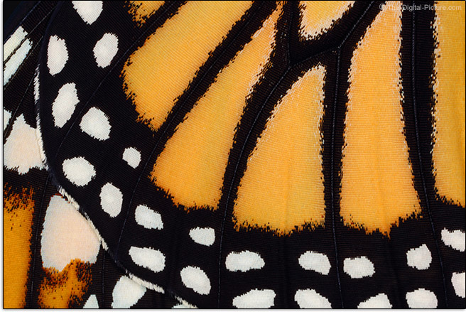 Butterfly Wing Sample Picture