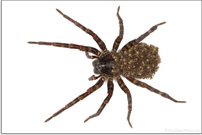 Spider Sample Picture