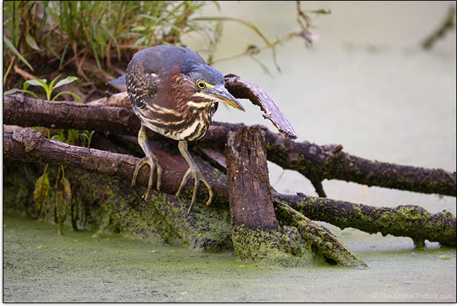 Canon RF 800mm F11 IS STM Lens Little Green Heron Sample Picture