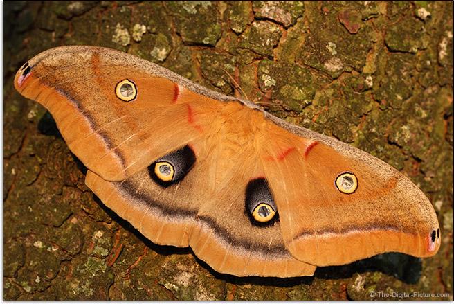 Sigma 105mm f/2.8 EX DG OS HSM Macro Lens Polyphemus Moth Picture