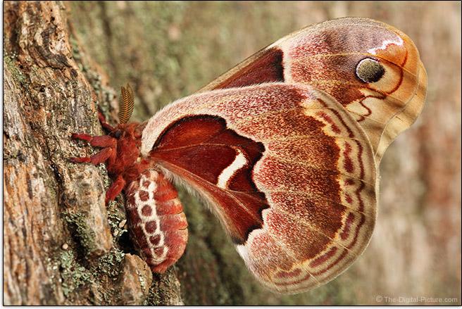 Sigma 105mm f/2.8 EX DG OS HSM Macro Lens Tulip Tree Moth Picture