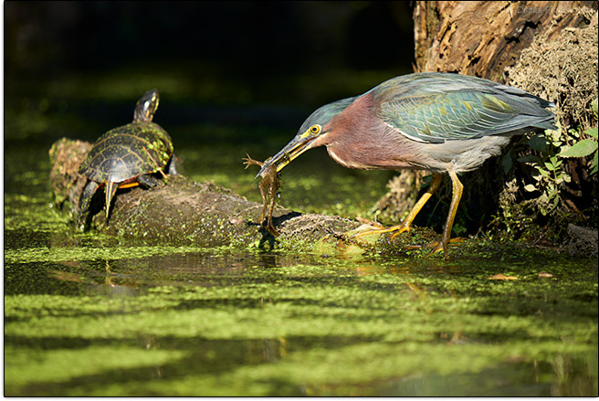 Sigma 150-600mm f/5-6.3 DG DN OS Sports Lens Heron with Frog Sample Picture