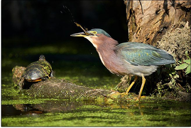 Sigma 150-600mm f/5-6.3 DG DN OS Sports Lens Heron Swallowing Frog Sample Picture