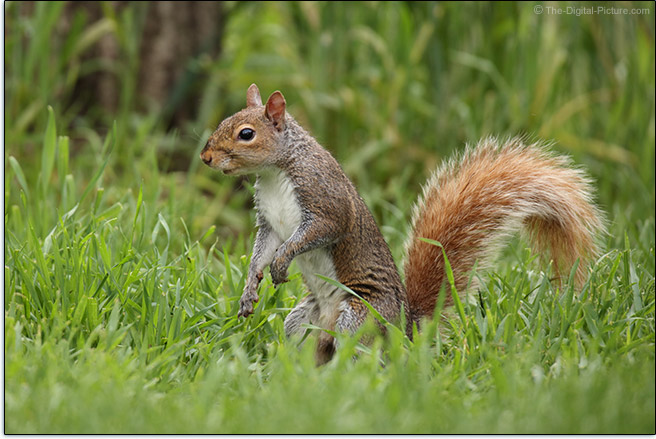 Sigma 60-600mm f/4.5-6.3 DG OS HSM Sports Lens Squirrel Sample Picture