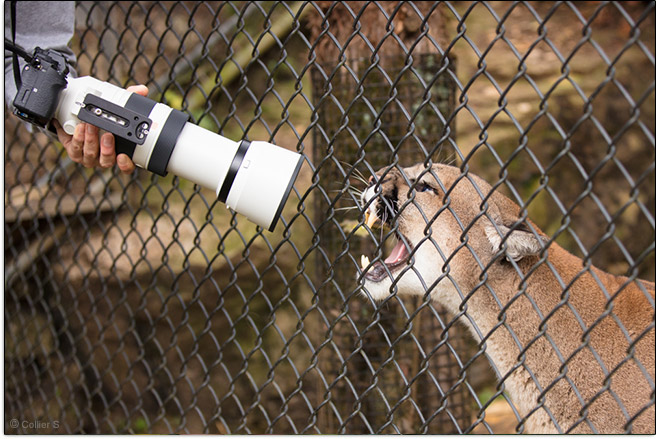 Cougar's Opinion of Sony FE 100-400mm GM OSS Lens