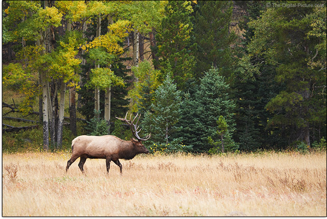 Sony FE 200-600mm f/5.6-6.3 G OSS Lens Bull Elk in Environment Sample Picture