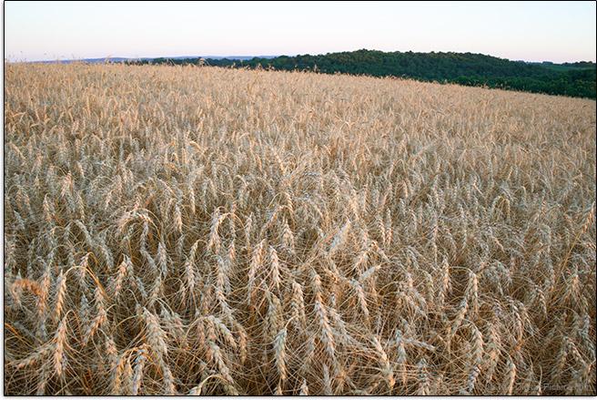 Sony FE 28mm f/2 Lens Grain Field Sample Picture