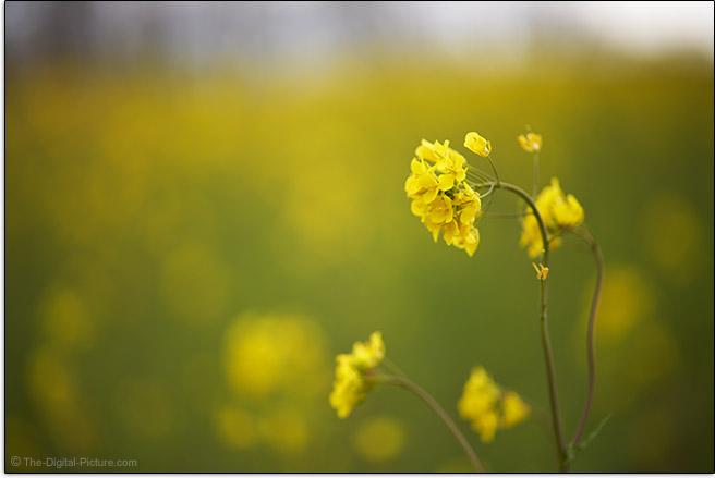 Sony FE 85mm f/1.8 Lens Flower Sample Picture