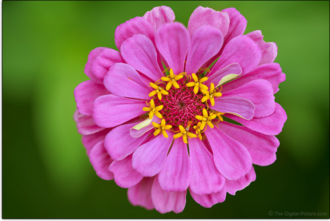 Sony FE 90mm f/2.8 Macro G OSS Lens Zinnia Top Sample Picture