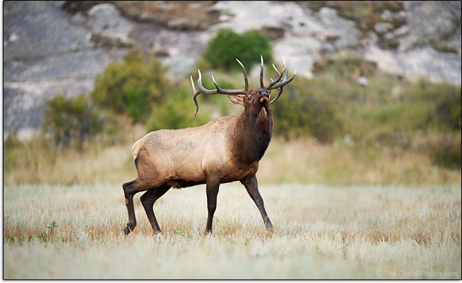 Sony a7R IV Bull Elk Sample Picture