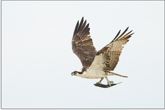 Tamron 150-500mm f/5-6.7 Di III VC VXD Lens Bird in Flight Sample Picture