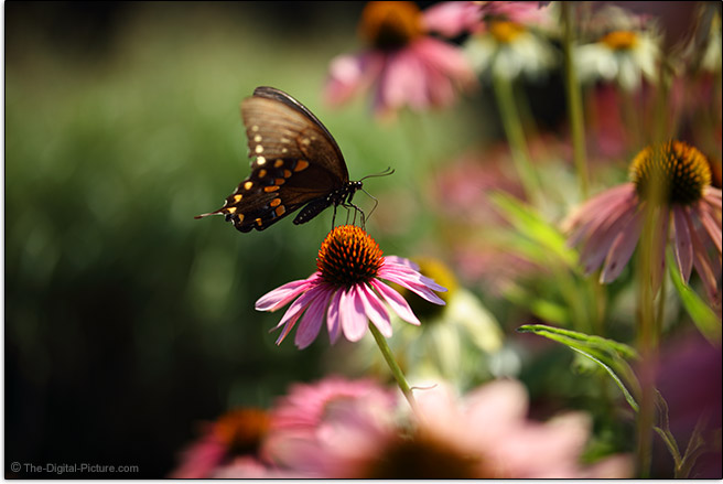 Tamron 35mm f/1.4 Di USD Lens Butterfly Sample Picture