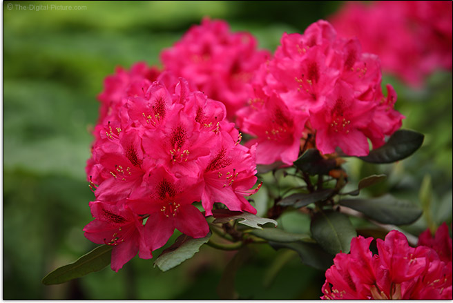Tamron 70-210mm f/4 Di VC USD Lens Rhododendron Sample Picture