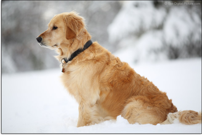 Zeiss 135mm f/2 Apo Sonnar T* ZE Lens Golden Retriever Portrait