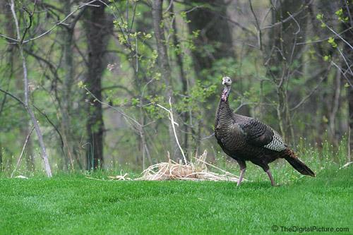 Wild Turkey Picture