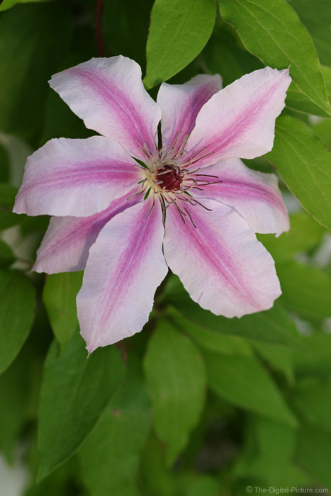 Clematis Picture