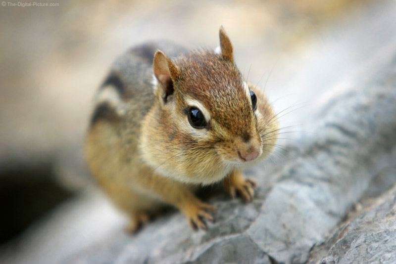 Chipmunk on Rock Picture