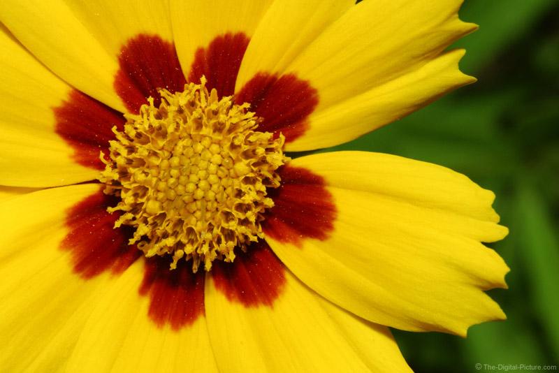 Coreopsis Sterntaler Flower Picture