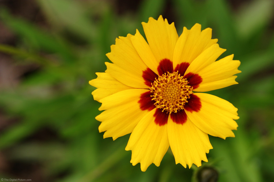 Coreopsis Sterntaler Picture
