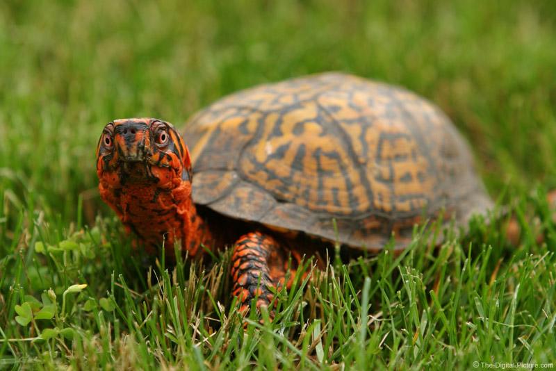 Box Turtle Picture