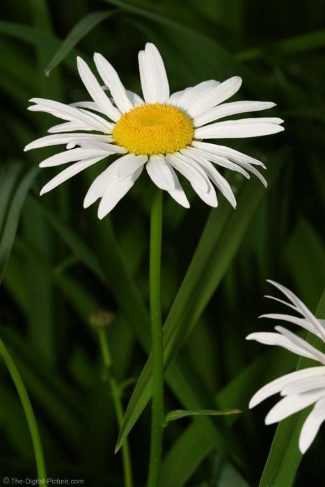 White Daisy Picture