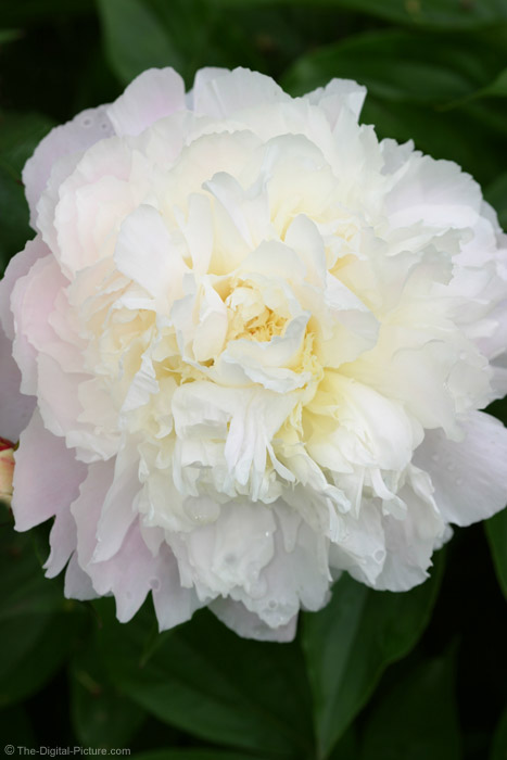 Pink-Tinted White Peony Picture