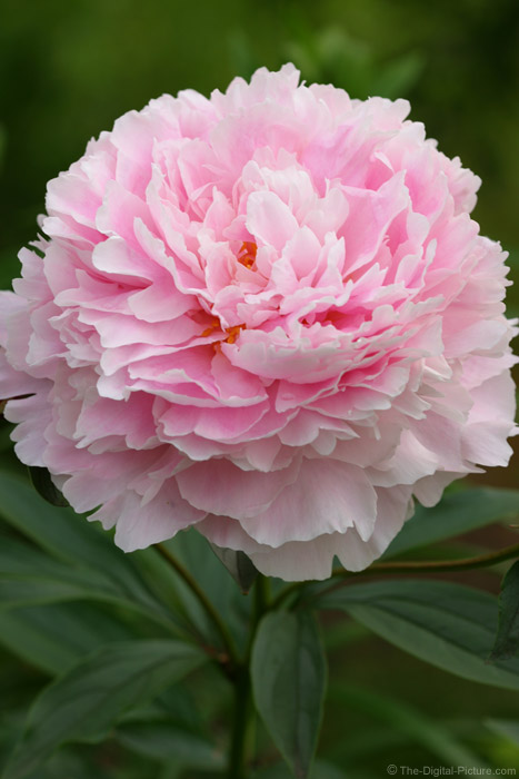 Peony Flower Picture