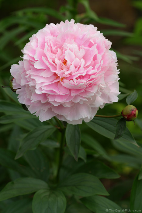 Pink Peony Picture