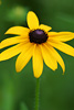 Black-Eyed Susan Flower Picture