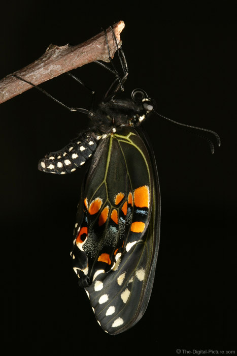 Black Swallowtail Butterfly 2