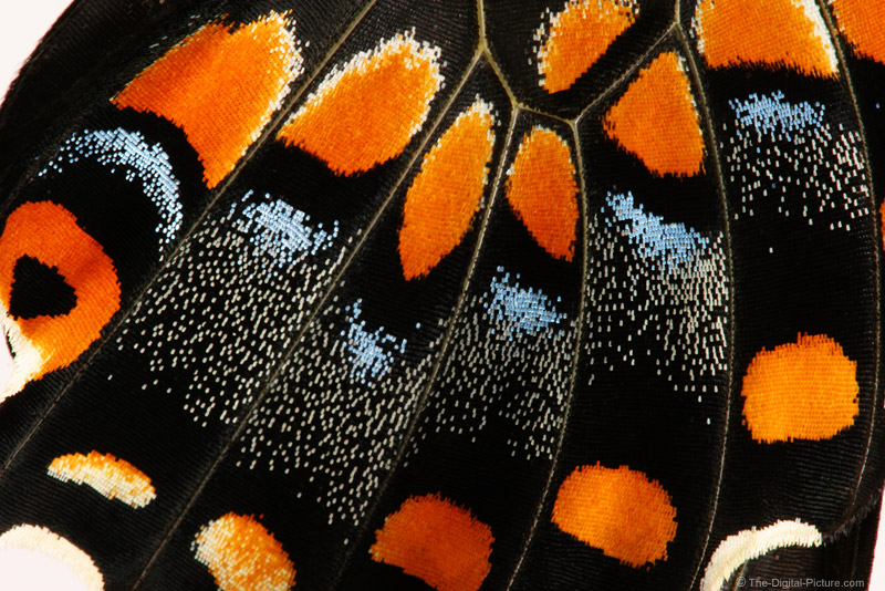Black Swallowtail Butterfly Wing Closeup Picture