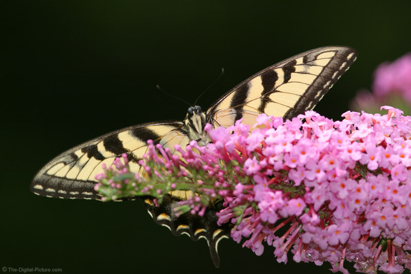 Tiger Swallowtail Butterfly 2