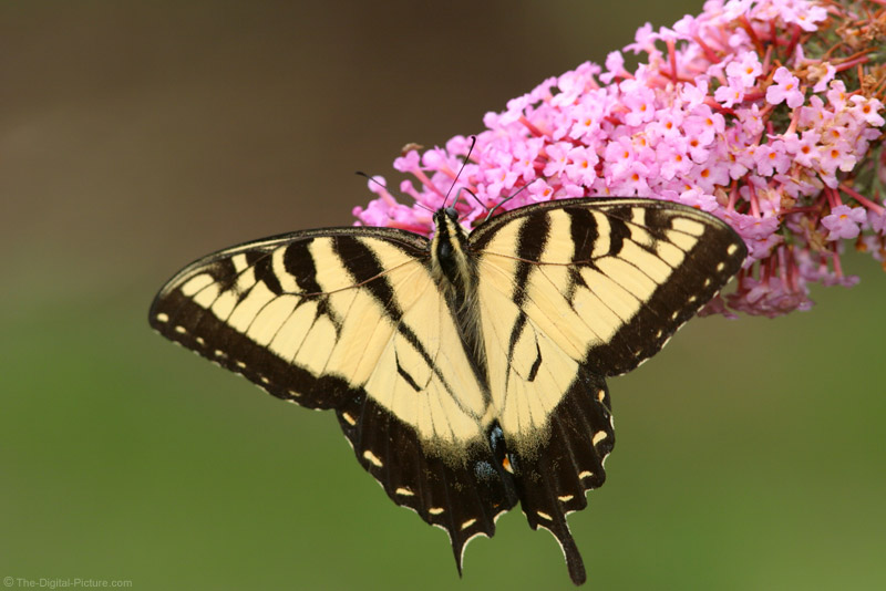 Swallowtail Butterfly Picture