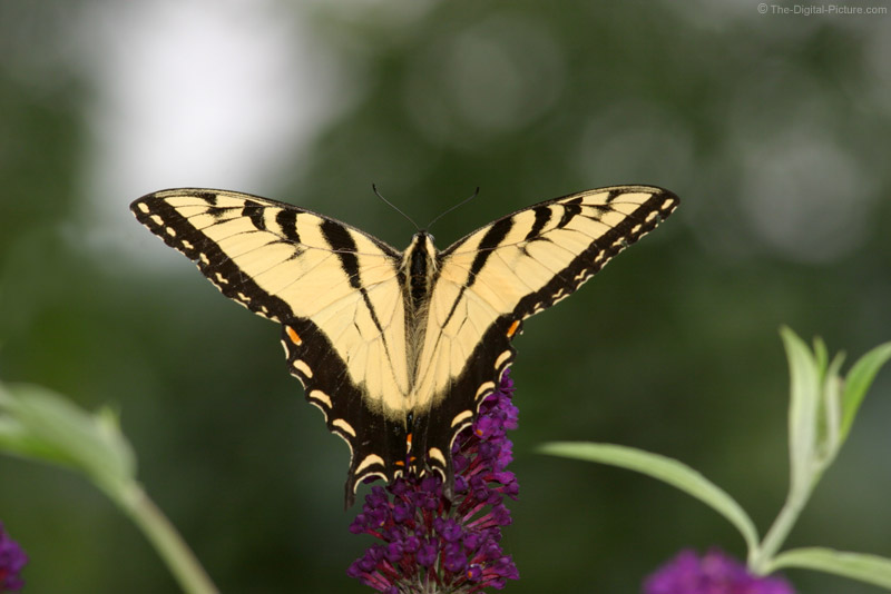Tiger Swallowtail on Butterfly Bush 3