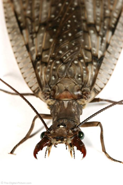 Dobsonfly (Helgrammite)