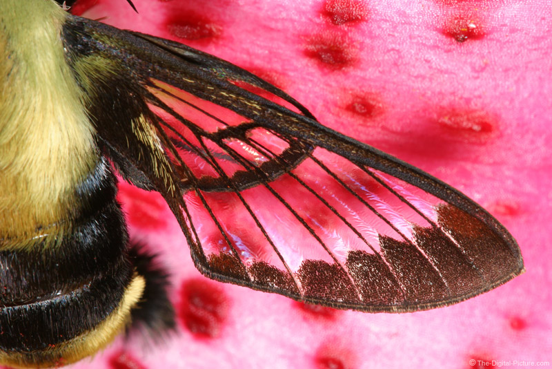 Snowberry Clearwing Moth 5