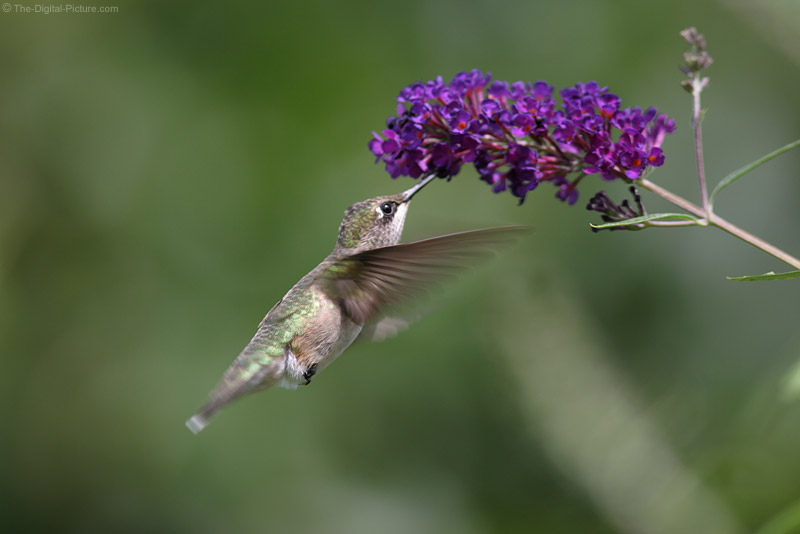 The Tiny Ruby-Throated Hummingbird