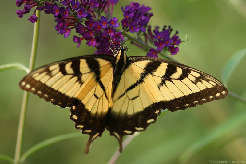 Tiger Swallowtail on Butterfly Bush 2