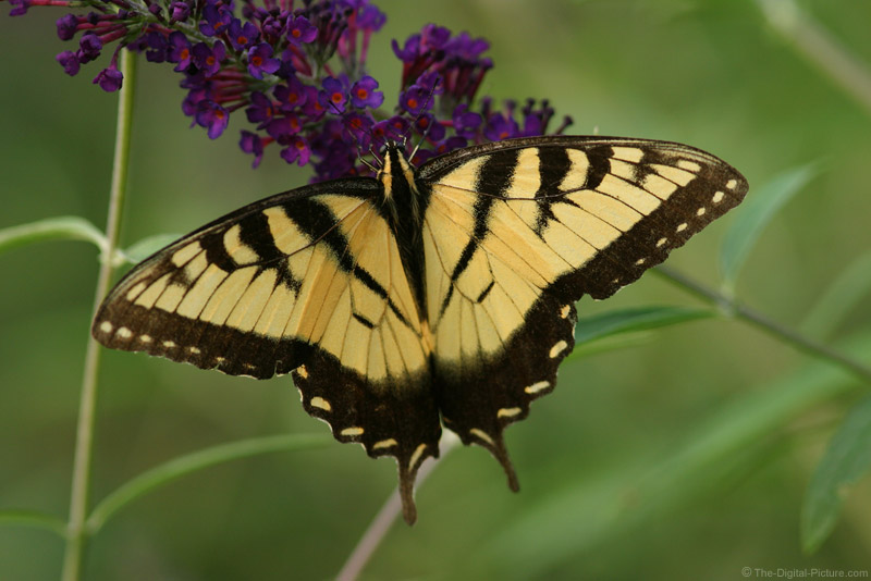 Tiger Swallowtail on Butterfly Bush Picture