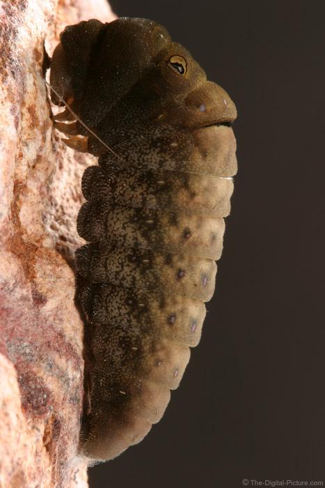 Eastern Swallowtail Caterpillar